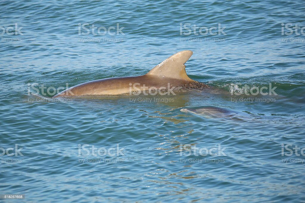 Mother and baby Common bottlenose dolphins swimming stock photo