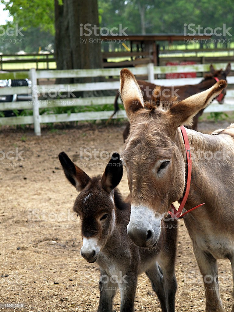 Mother and baby donkey royalty-free stock photo