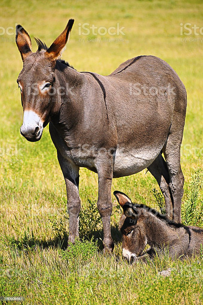 Mother and Baby Donkey stock photo
