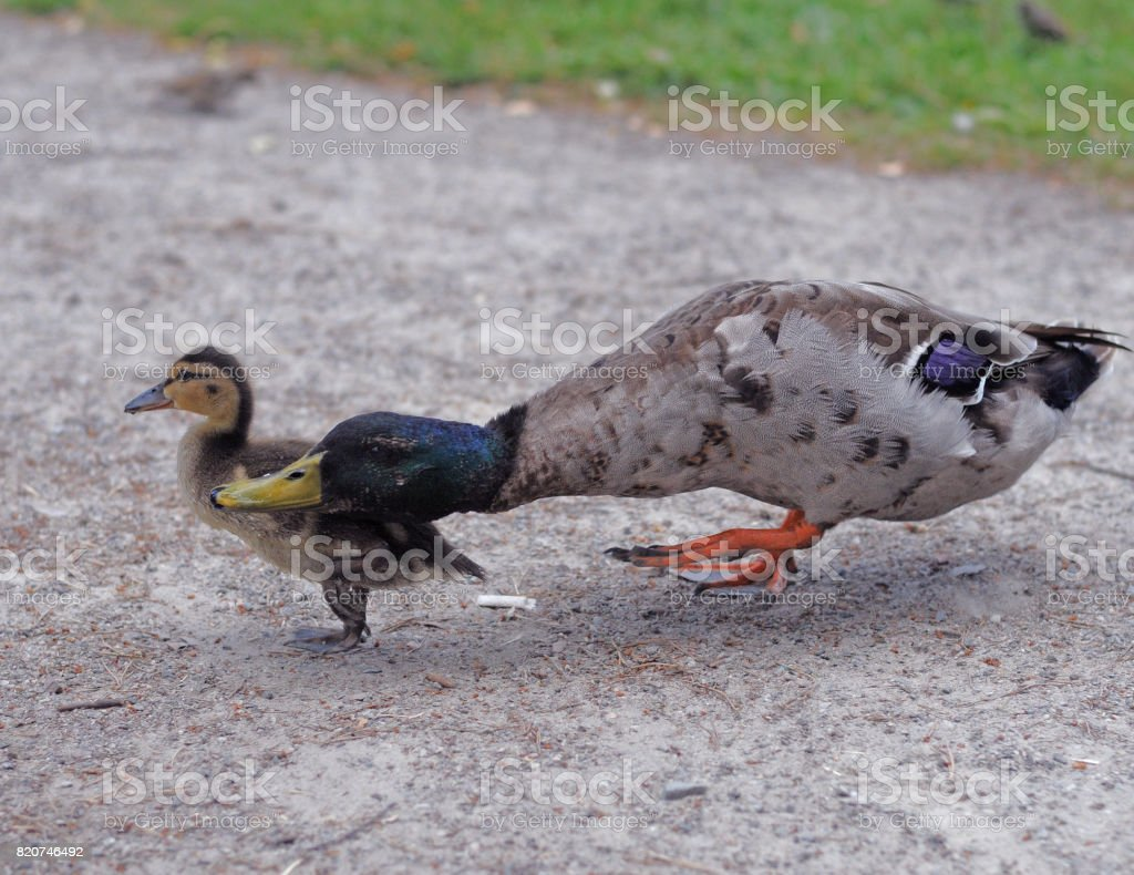Mother and baby duck stock photo