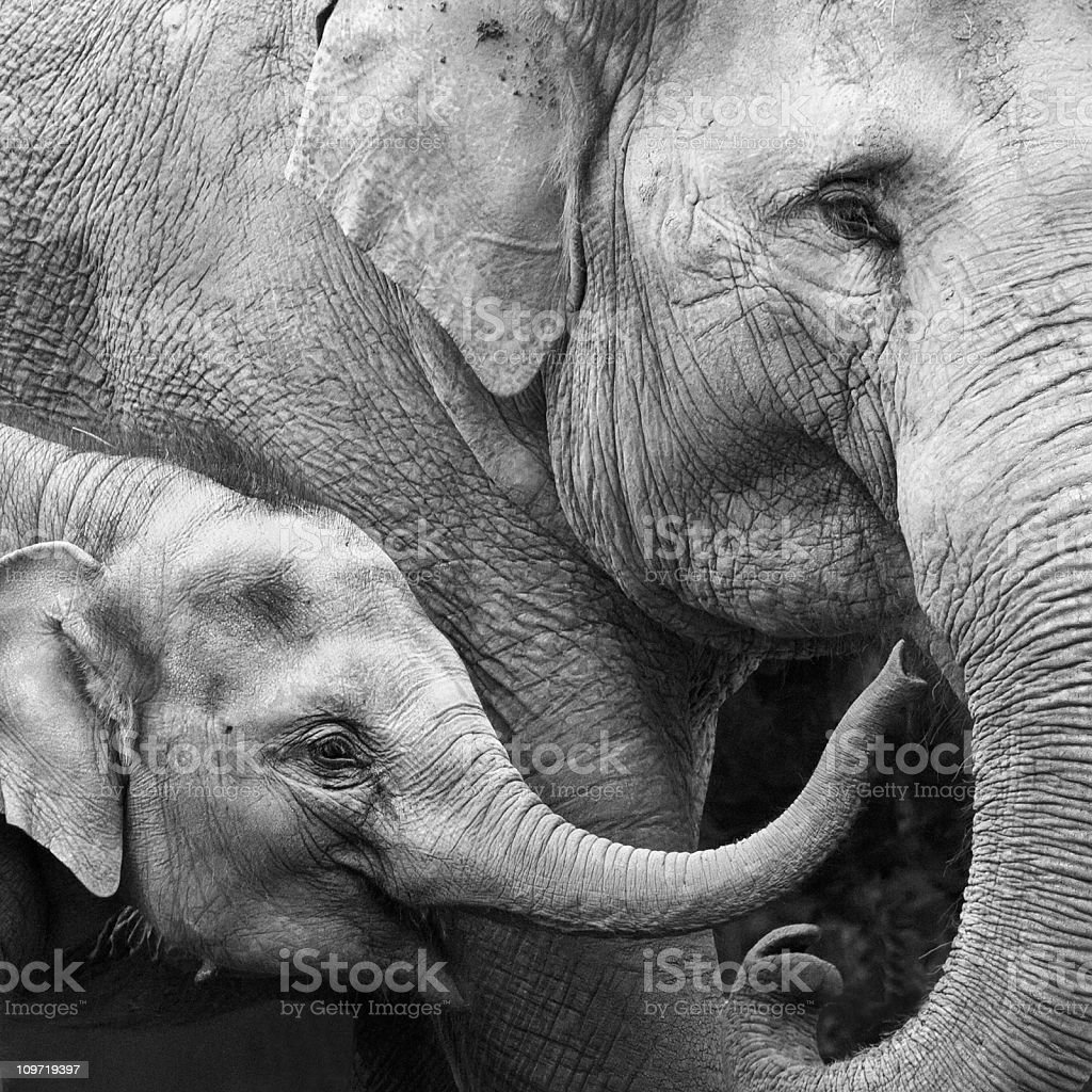 Mother and Baby Elephant - Close-up stock photo