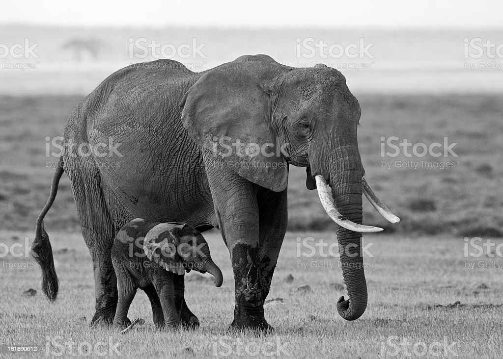 Mother and baby elephant royalty-free stock photo