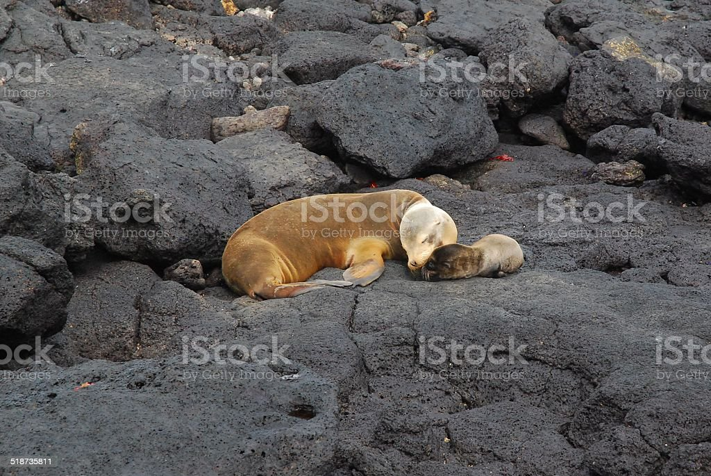 Mother and Baby Galapagos Sea Lion on the Rocks royalty-free stock photo