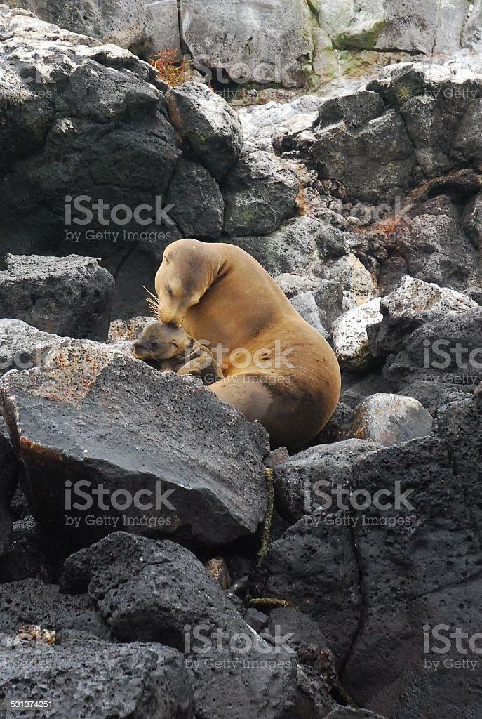 Mother and Baby Galapagos Sea Lions on the Rocks royalty-free stock photo
