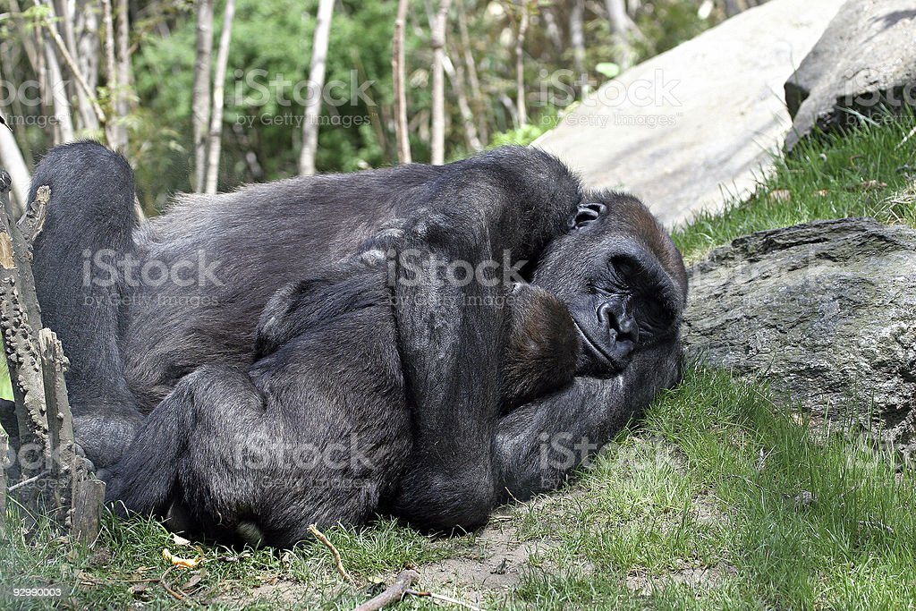 Mother and Baby Gorillas stock photo