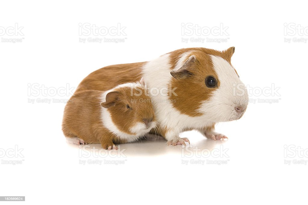Mother and Baby Guinea Pig royalty-free stock photo