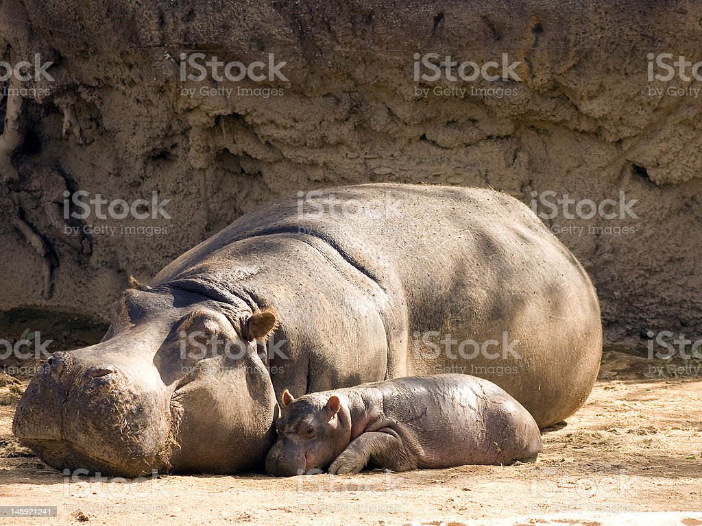 Mother and Baby Hippopotamus stock photo