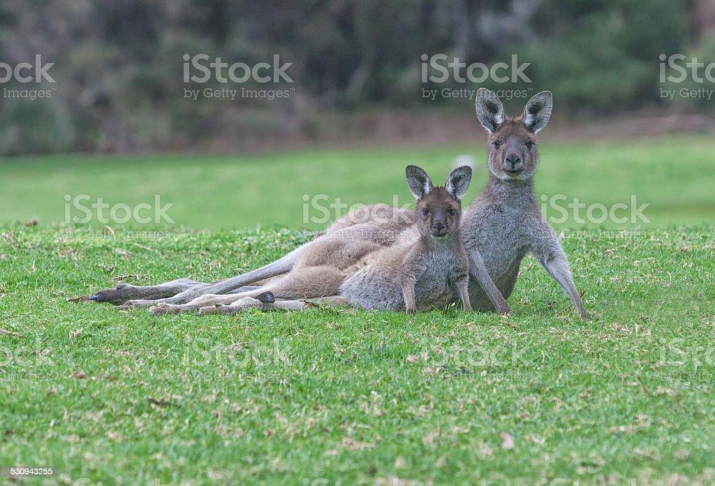 Mother and Baby Joey Kangaroo, Walpole, Western Australia, stock photo