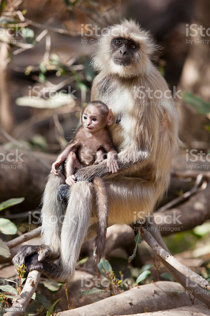 Mother and baby langur. stock photo