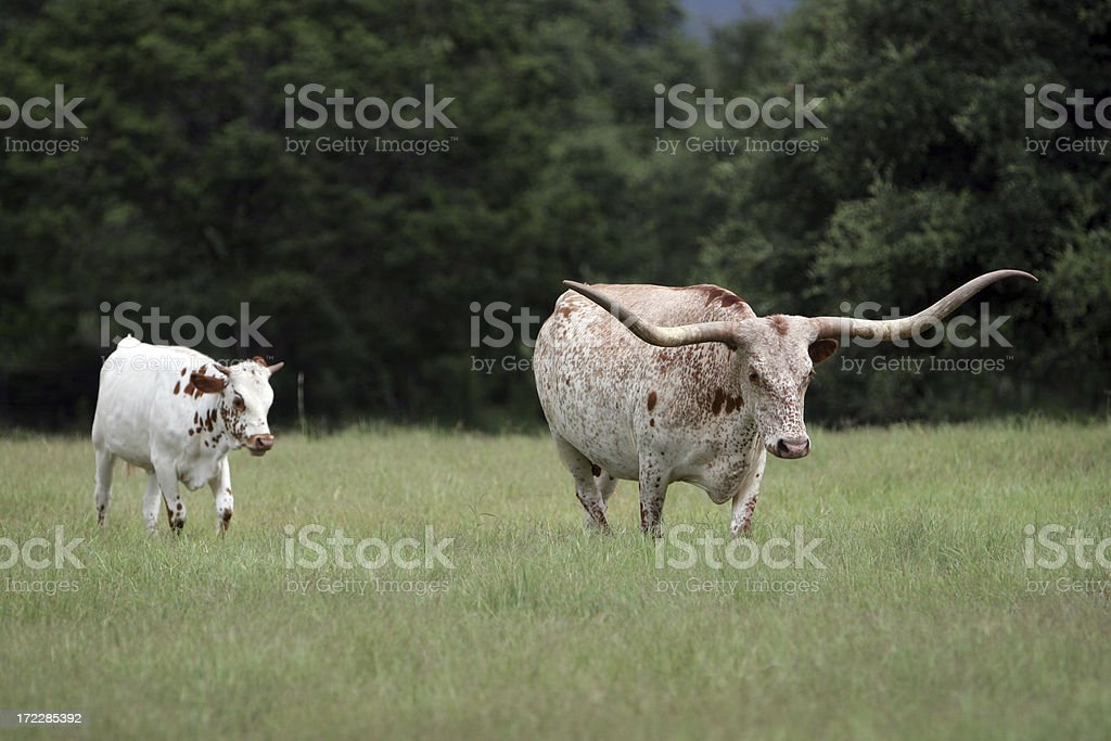 Mother and Baby Longhorns royalty-free stock photo