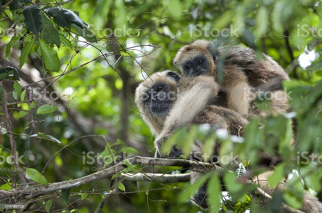Mother and baby monkey royalty-free stock photo