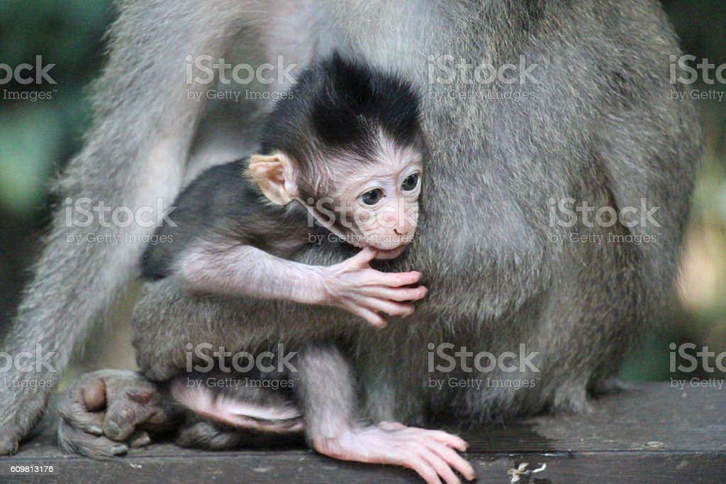 Mother and Baby Monkey stock photo
