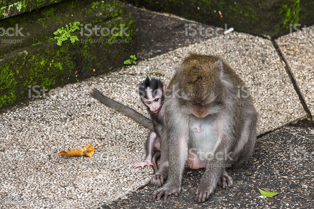 Mother and baby monkey together on Bali stock photo