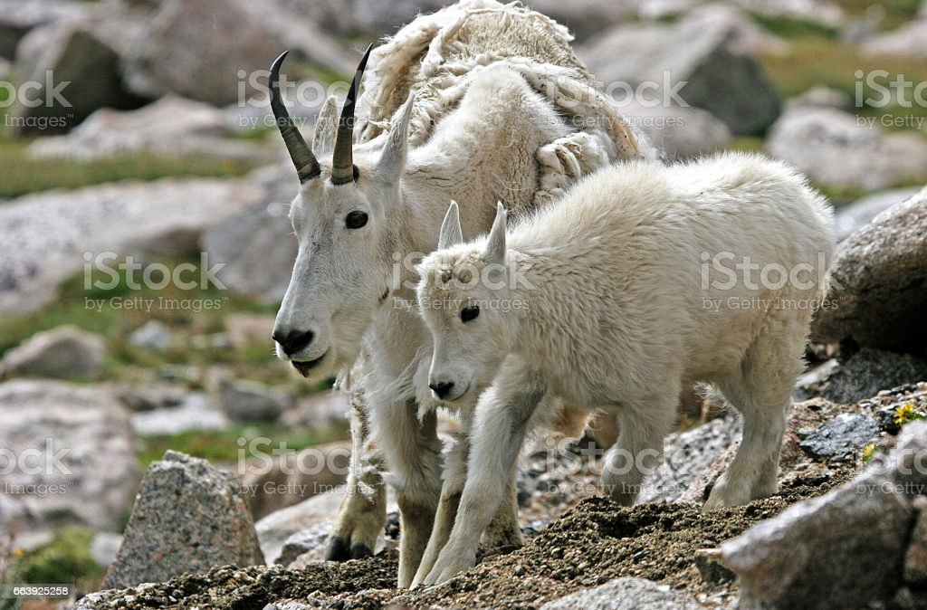Mother and baby mountain goat (Oreamnos americanus) stock photo