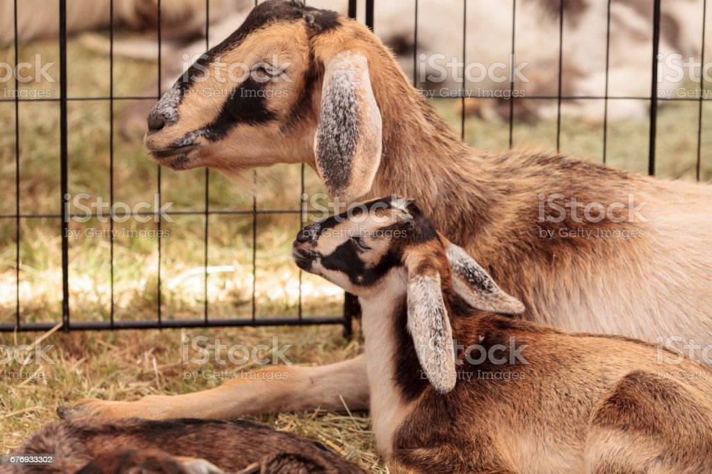 Mother and baby Nigerian dwarf goat stock photo