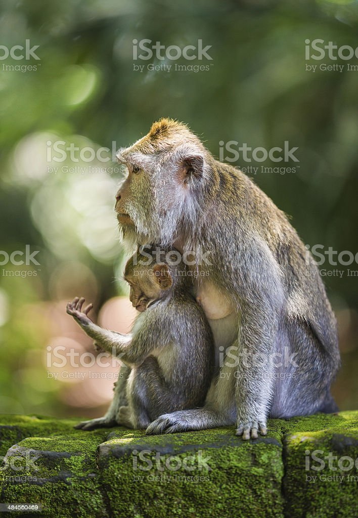Mother and Baby of Long-tailed Macaques on Bali, Indonesia royalty-free stock photo