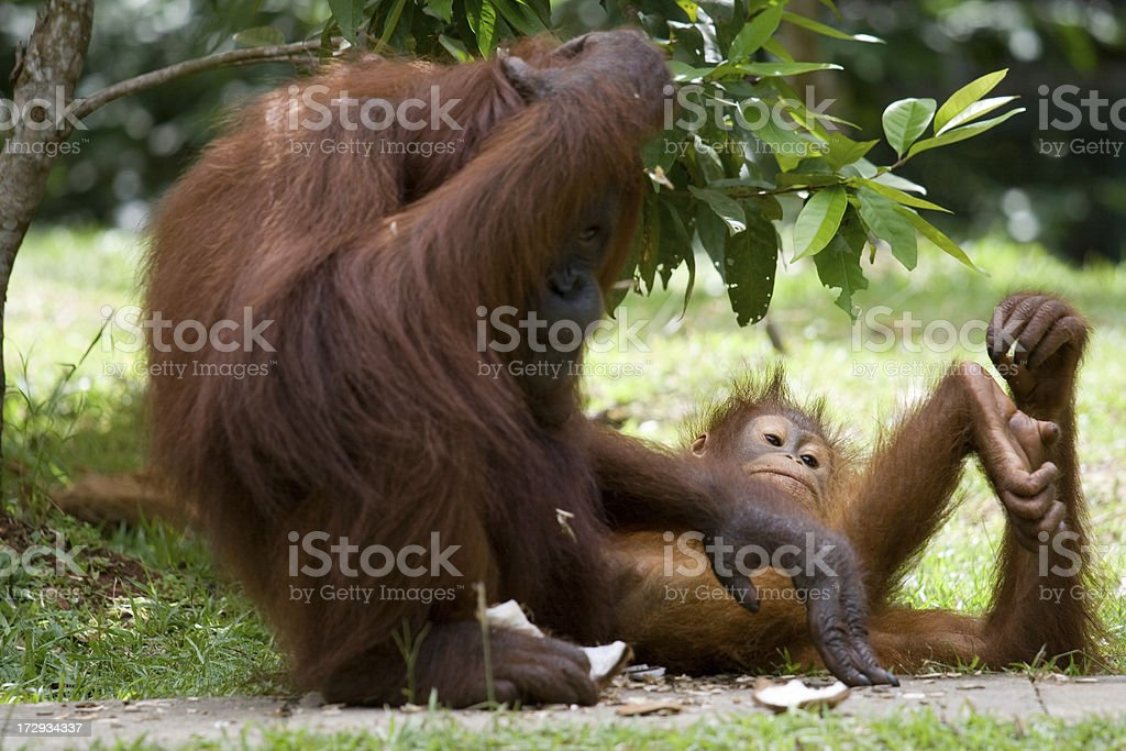 Mother and baby orangutan royalty-free stock photo