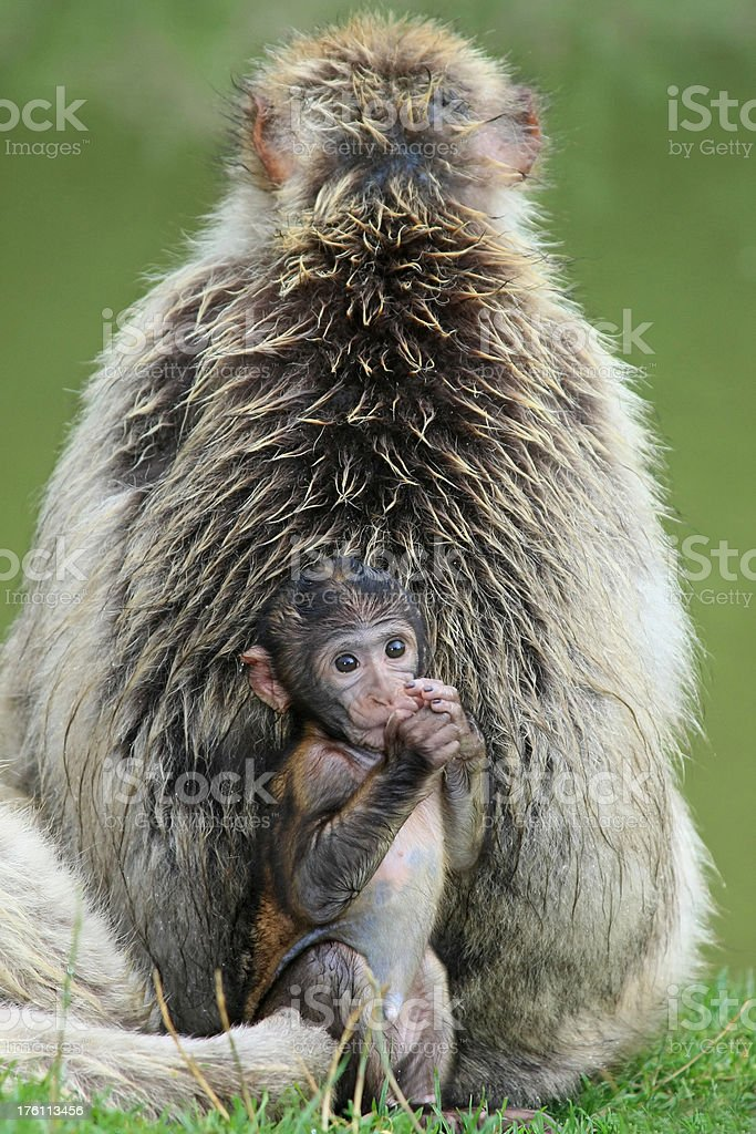 Mother and baby (Barbary Apes) royalty-free stock photo