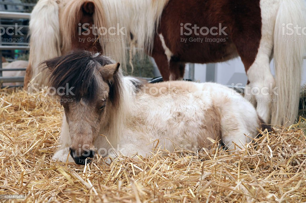 Mother and baby pony in straw stock photo