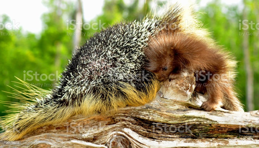 Mother and baby Porcupine snuggling stock photo