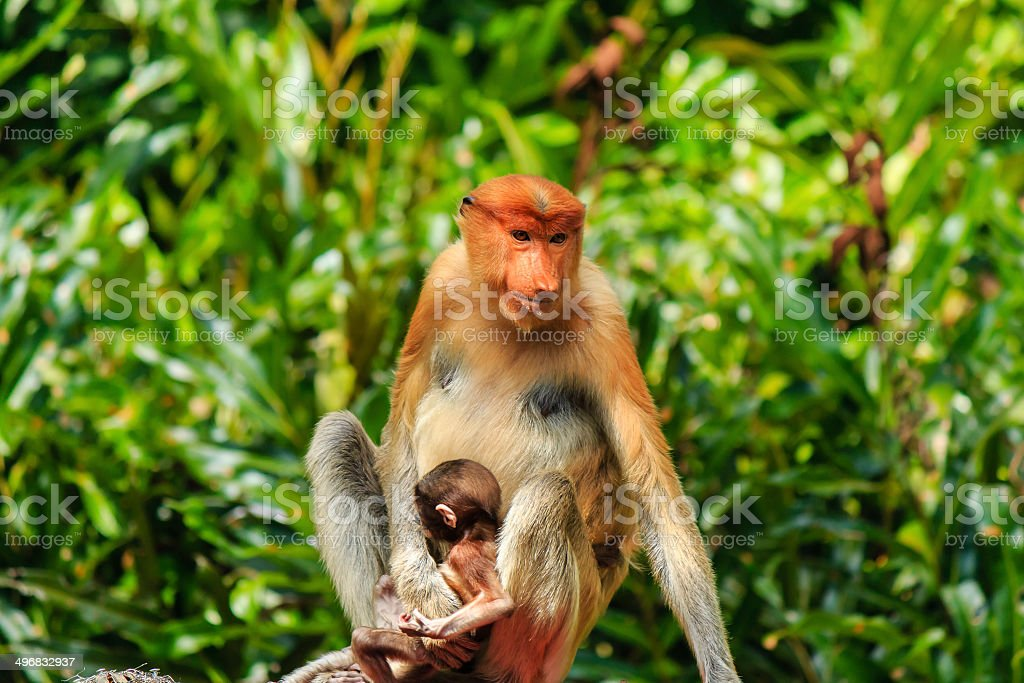 Mother and baby Proboscis Monkey in the forest stock photo