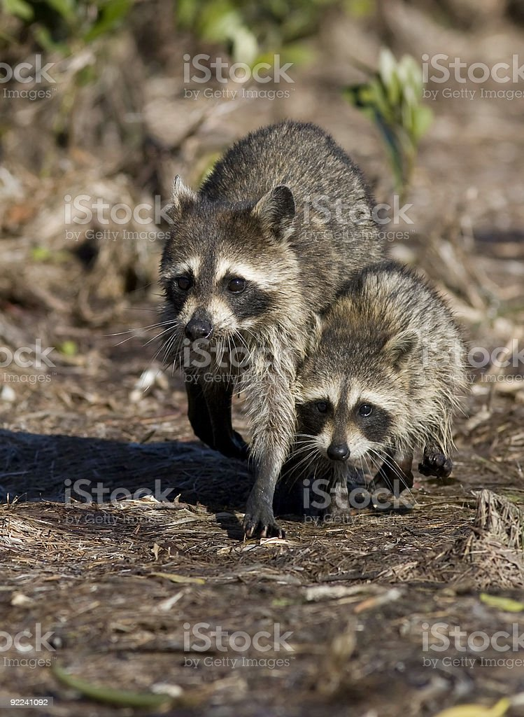 Mother and Baby Raccoon stock photo