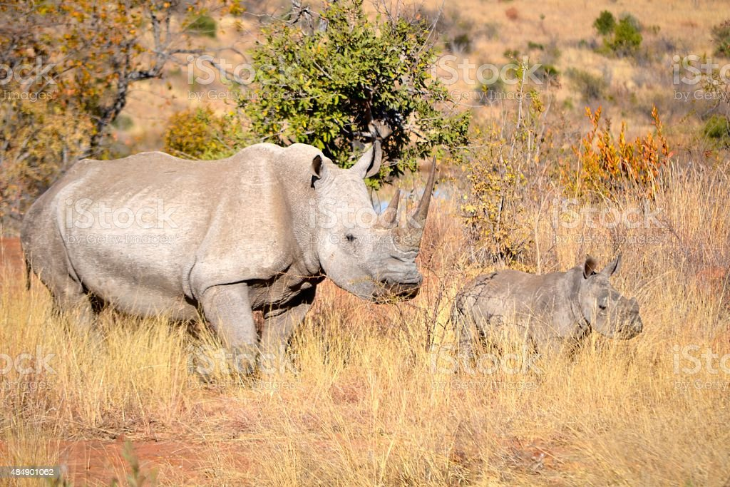 Mother and Baby Rhino in South Africa stock photo
