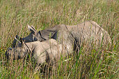 Mother and Baby rhino in the grasslands