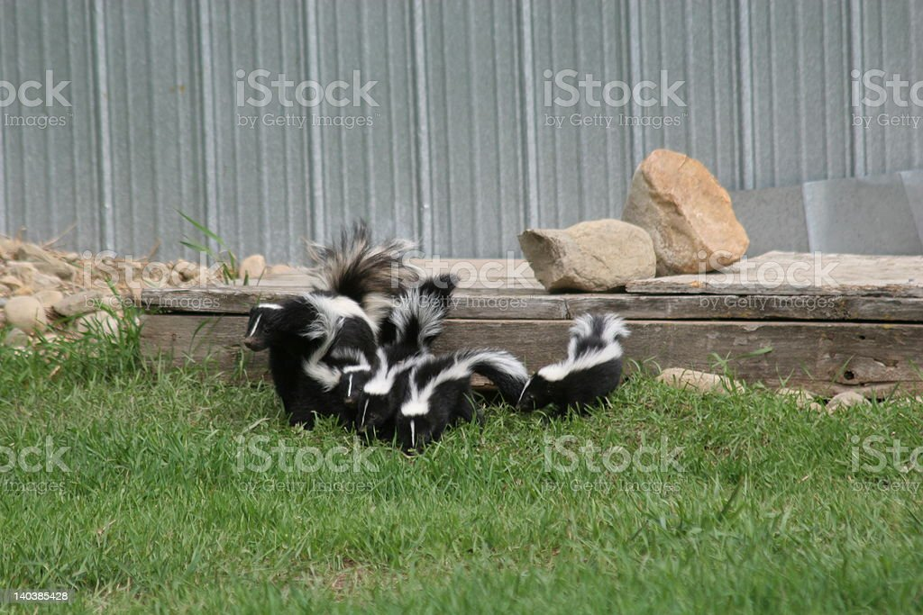 Mother and baby skunks stock photo