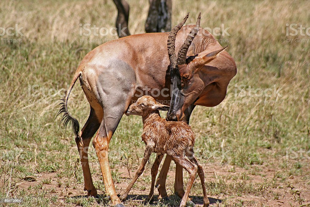 Mother and Baby Topi Antelope stock photo