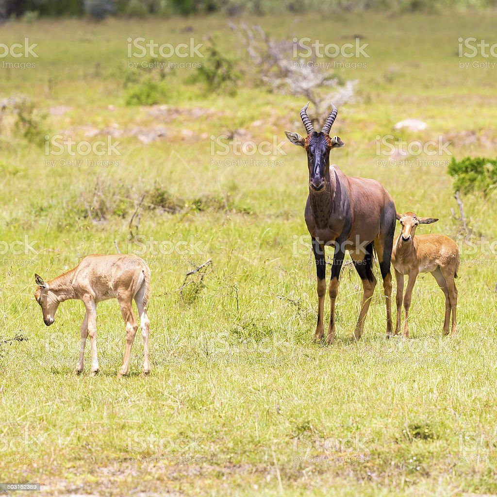 Mother and Baby Topies Antelope royalty-free stock photo