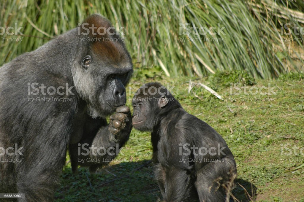 Mother and baby western lowland gorillas stock photo