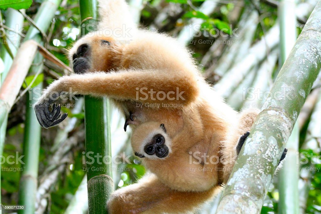 Mother and Baby White-handed Gibbon 2 stock photo