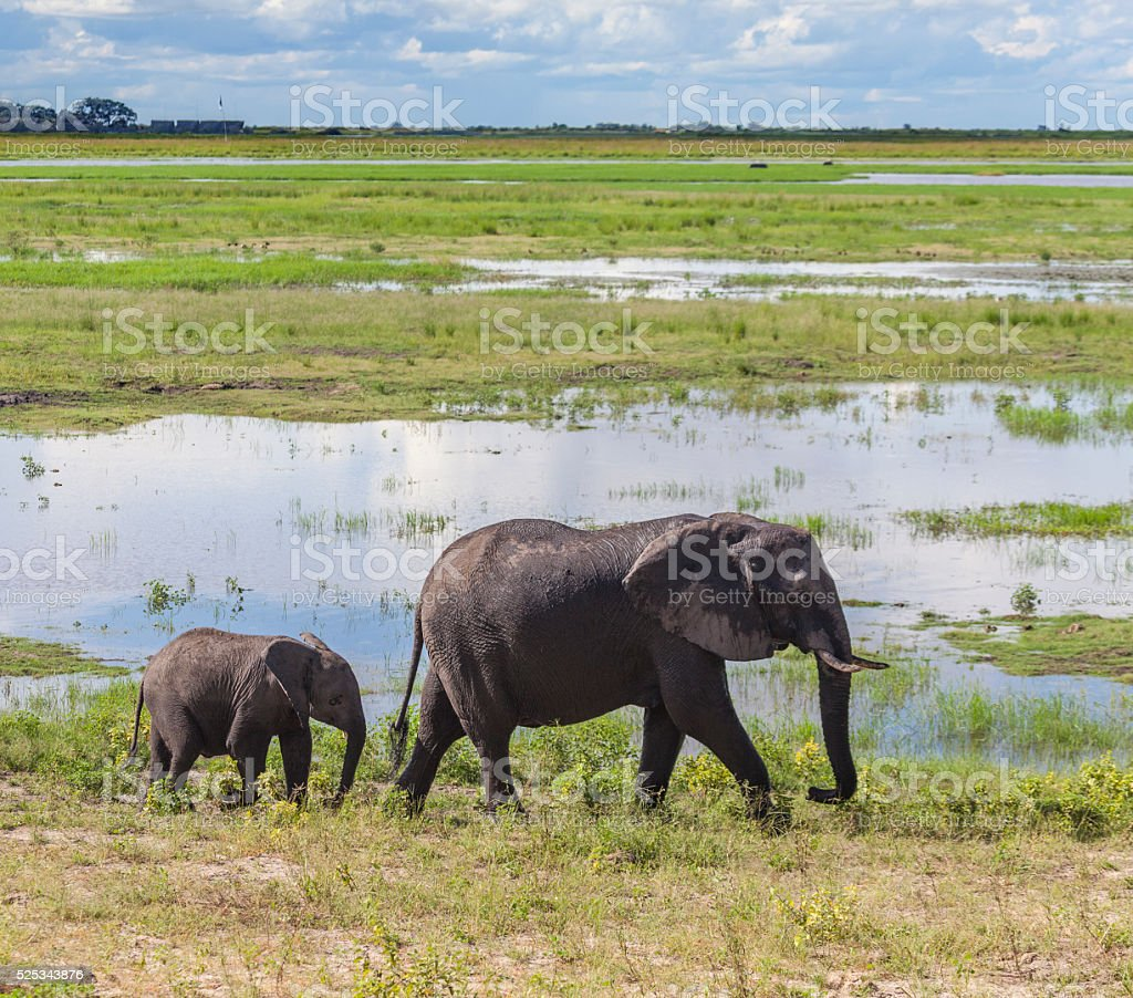 Mother and calf African Elephant, Chobe N.P., Botswana, Africa stock photo