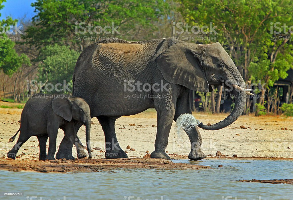 Mother and Calf Elephant next to a waterhole stock photo