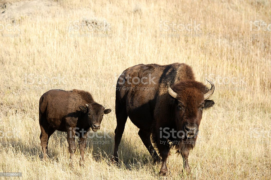 Mother and Calf royalty-free stock photo