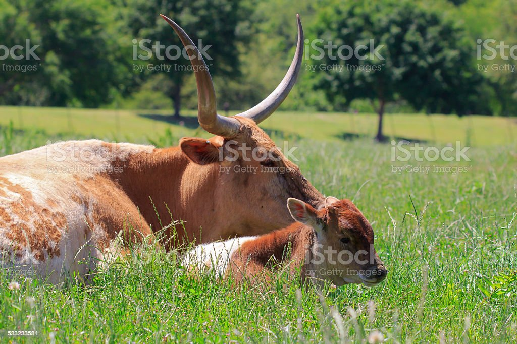 Mother and Calf stock photo