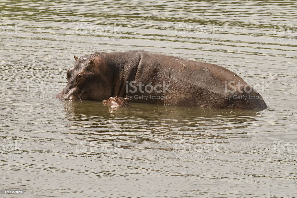 Mother and child Hippos stock photo
