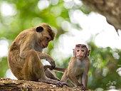 Mother and child Monkey Endemic to Sri Lanka