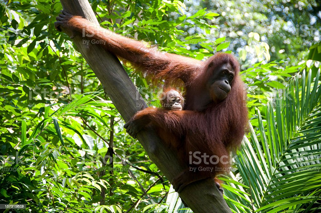 Mother and Child Orangutans stock photo