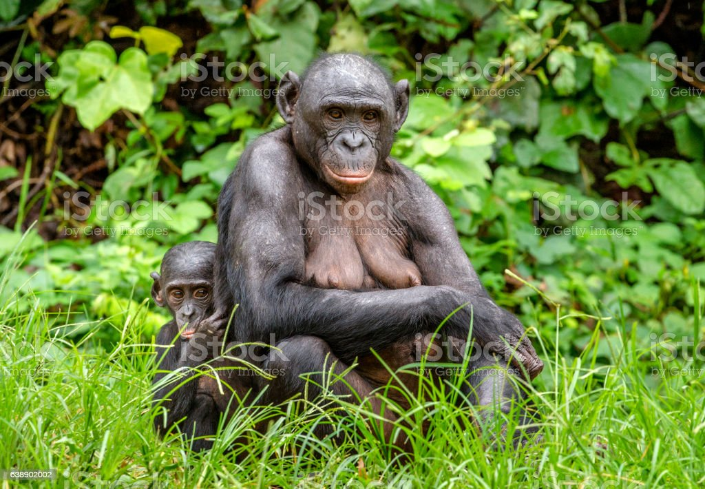 Mother and Cub of Bonobo in natural habitat. stock photo