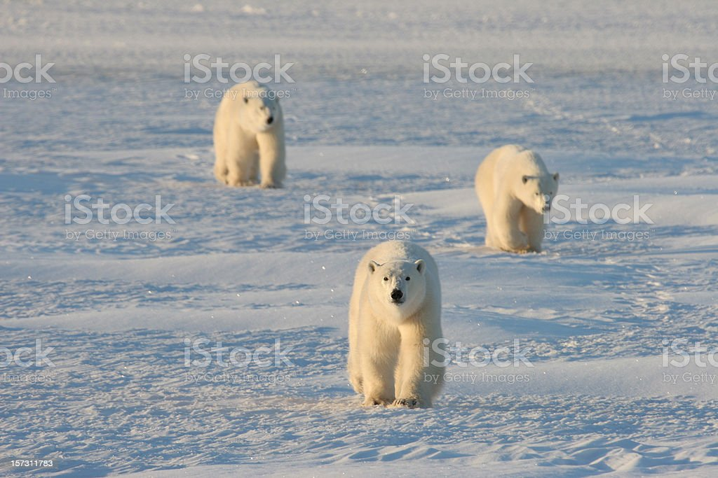 Mother and cub polar bears march across the arctic snows stock photo