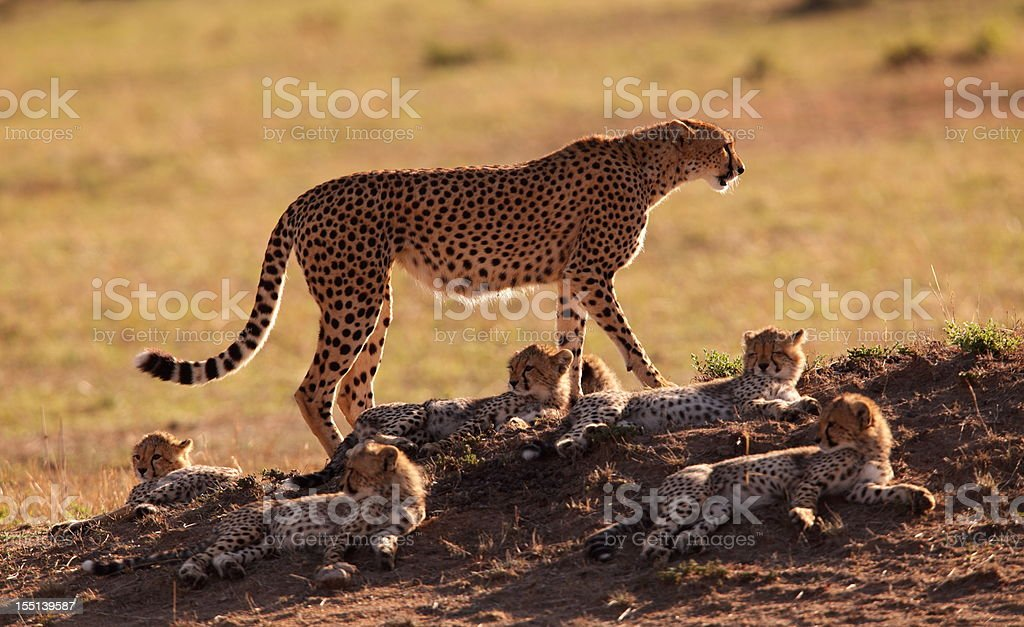 Mother and cubs stock photo