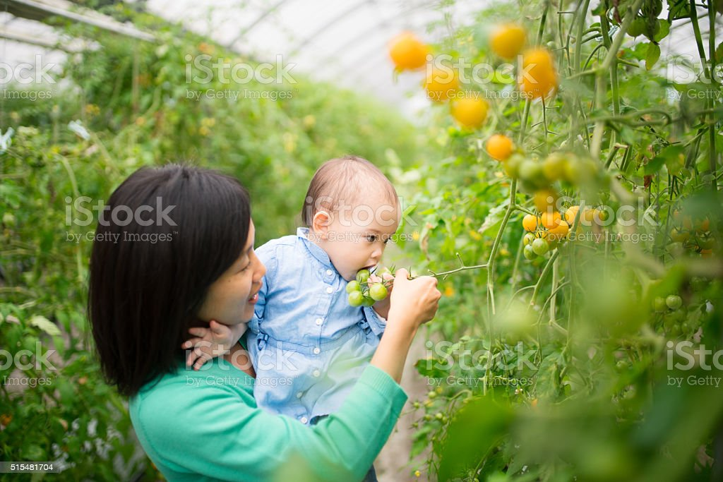 Mother and daughter picking tomatoes stock photo
