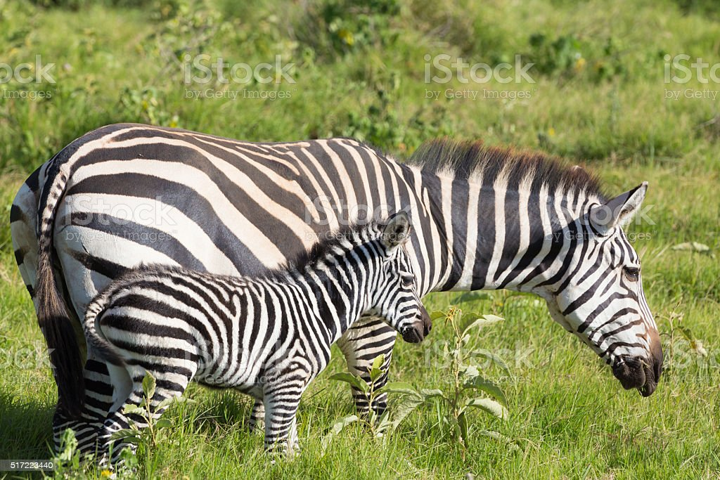 Mother and foal zebra, Equus quagga. stock photo