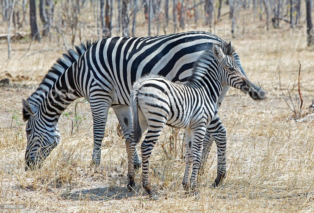 Mother and Foal Zebra in the bush in Hwange National Park stock photo