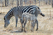 Mother and Foal Zebra in the bush in Hwange National Park
