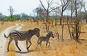 Mother and foal zebra running across dirt track