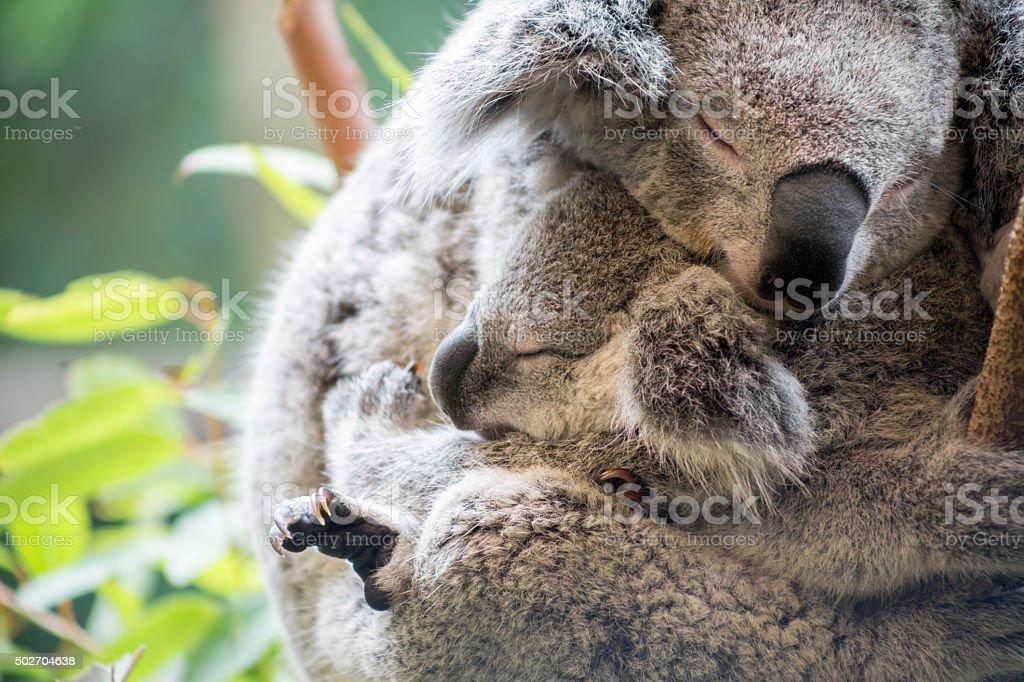 Mother and joey koala cuddling stock photo