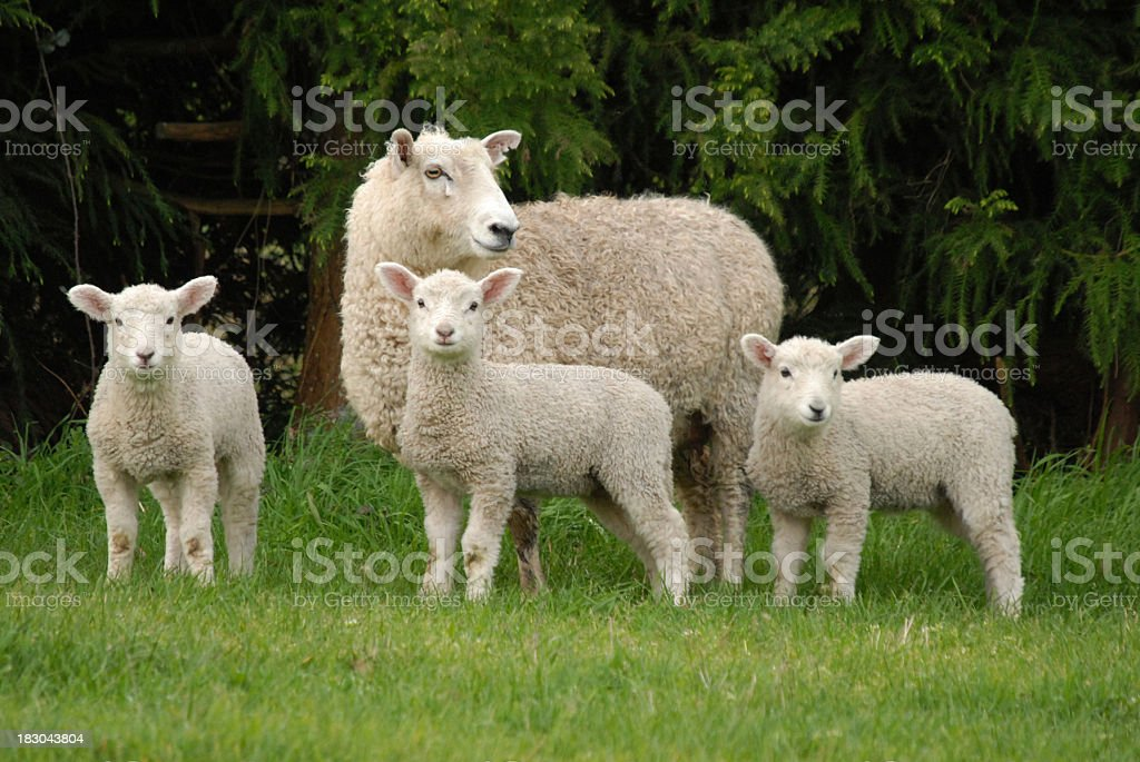 mother and lambs stock photo